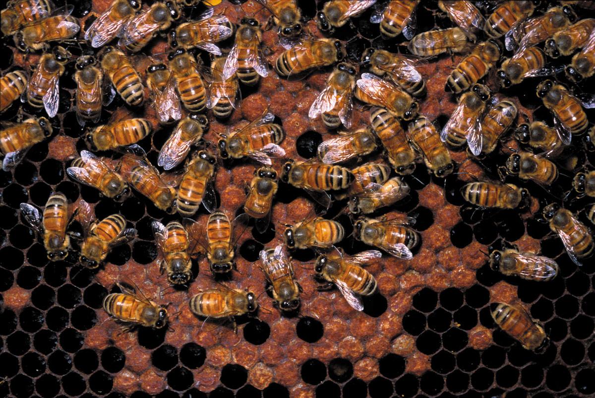 131honeycomb-bees