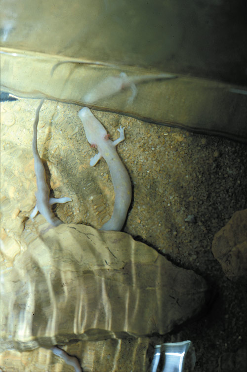 Cave-Olm