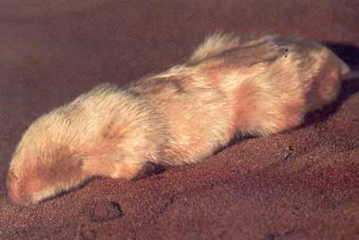Australian-marsupial-mole