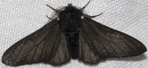 BlackBodiedPepperedMoth