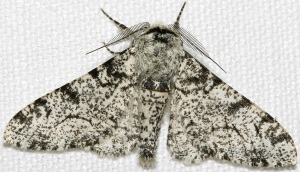 WhiteBodiedPepperedMoth