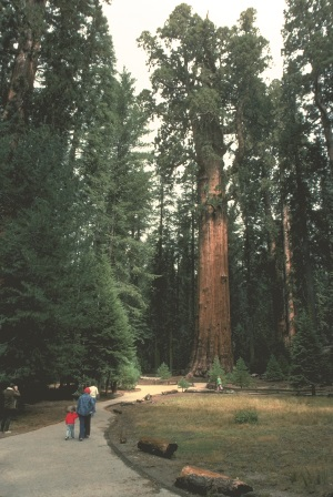 General_Sherman_tree