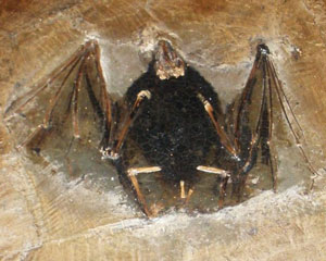 Palaeochiropteryx-tupaiodon