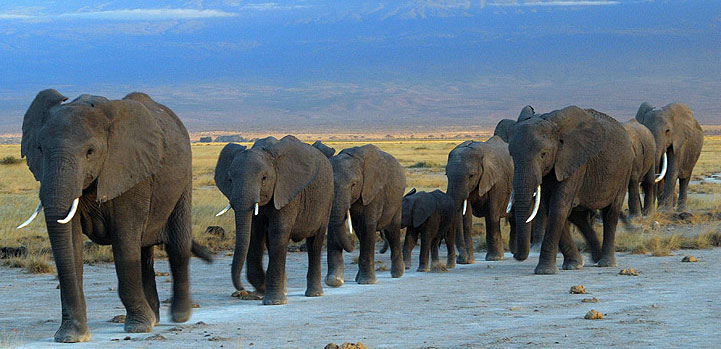 herd-of-elephants