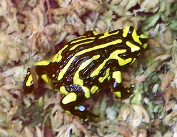 Corroboree-frog