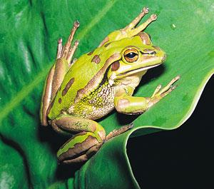 frog-lily-pad