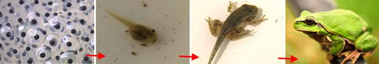 life-cycle-frog
