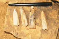 BelemiteFossils