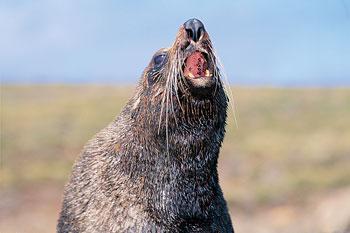 black-seal