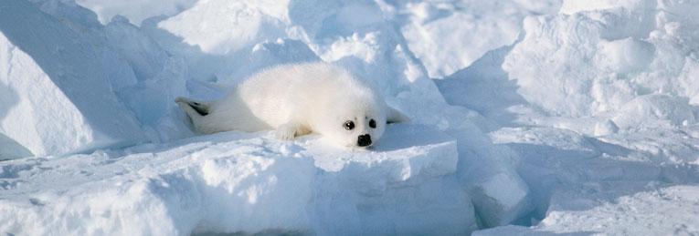 seal-snow