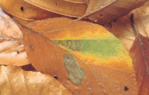 Leaf_Lava