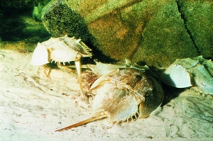 335-horseshoe-crab