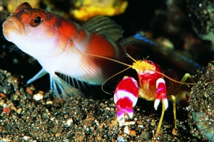335-shrimp-and-goby