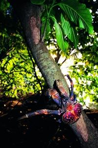 335-tree-crab
