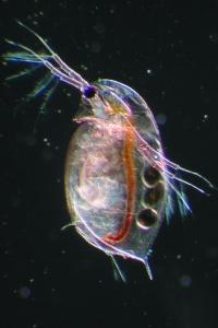 335-water-flea
