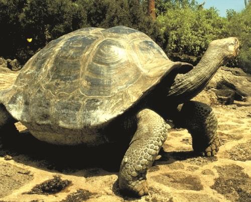 GalapagosTortise