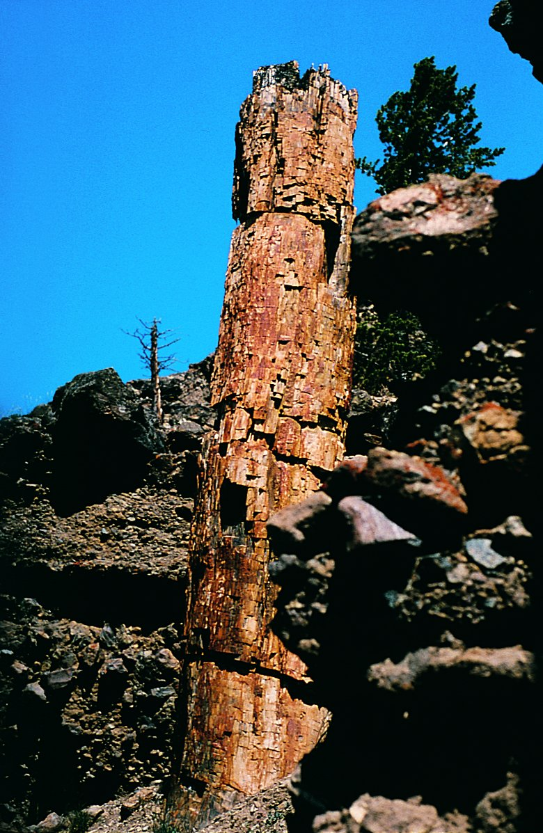 373-fossil-tree