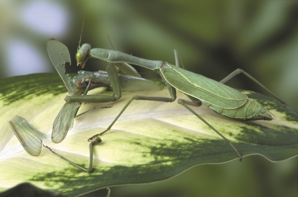 Mantis_Feeding