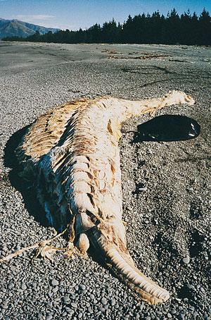 shark-carcass