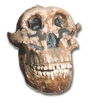 robustus_skull