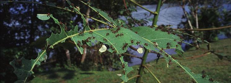 fungus-growing-ants