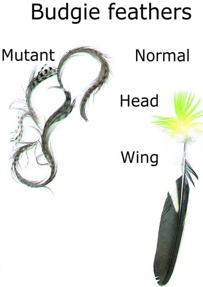 The mutant 'feather duster' budgie - creation com