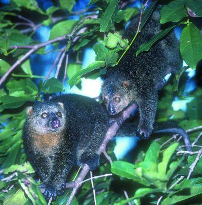481-sulawesi-bear-cuscus