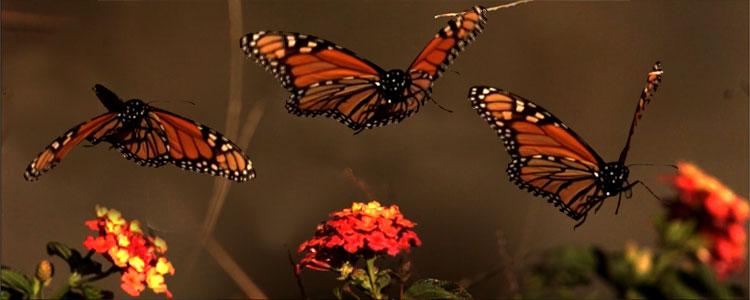 butterfly-flutter