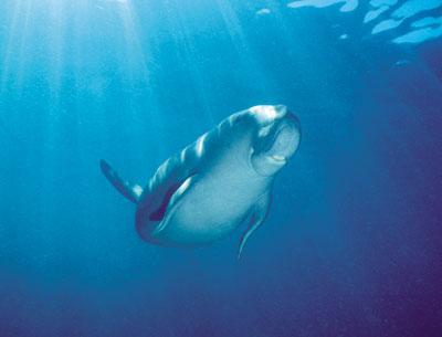 dugong-Gary-Bell