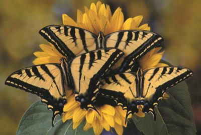 TigerSwallowtailButterflies