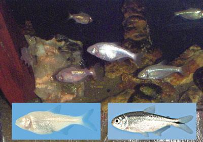 eyeless-fish
