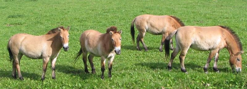 Equusprzewalskii