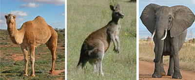 camel-kangaroo-elephant