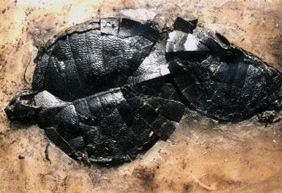 turtle-fossil
