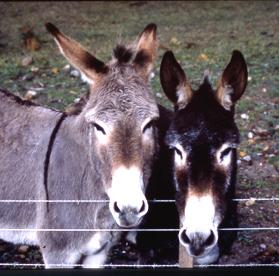 598-donkeys