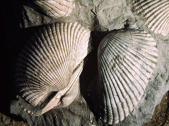 620-fossil-anadara-bivalve