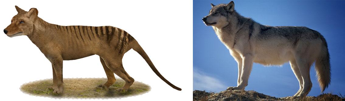 thylacine-wolf