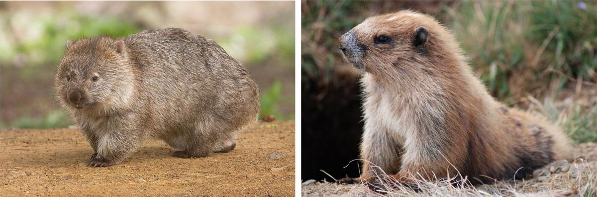 wombat-marmot