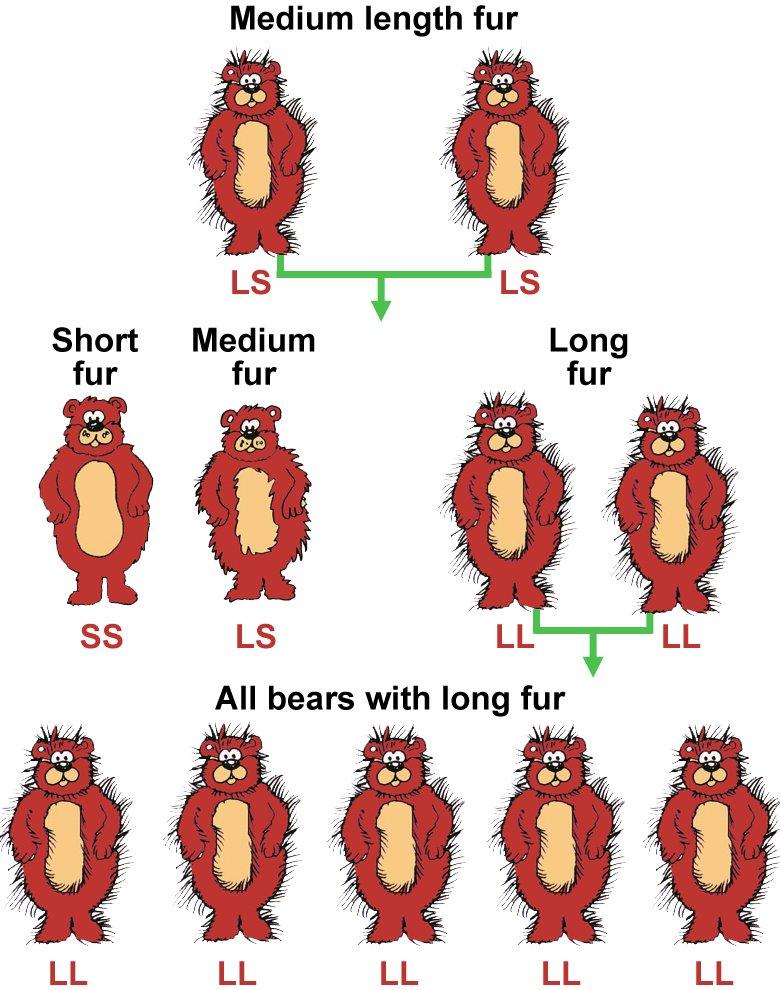 716-bear-fur-diagram