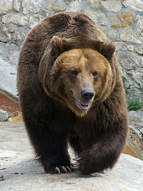 716-brown-bear