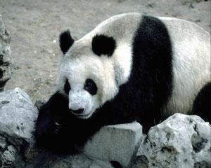 716-panda
