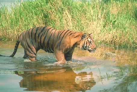 749-tiger