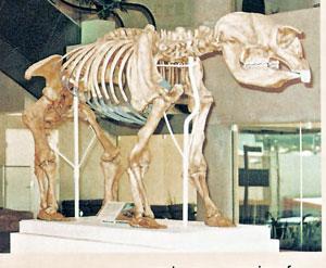 fossil-bones-Diprolodon