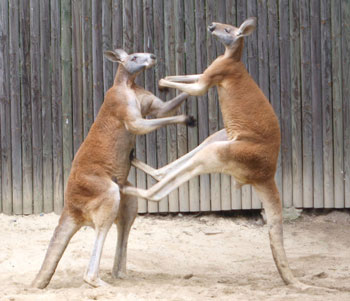 red-kangaroos-fighting