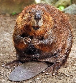 812-american-beaver