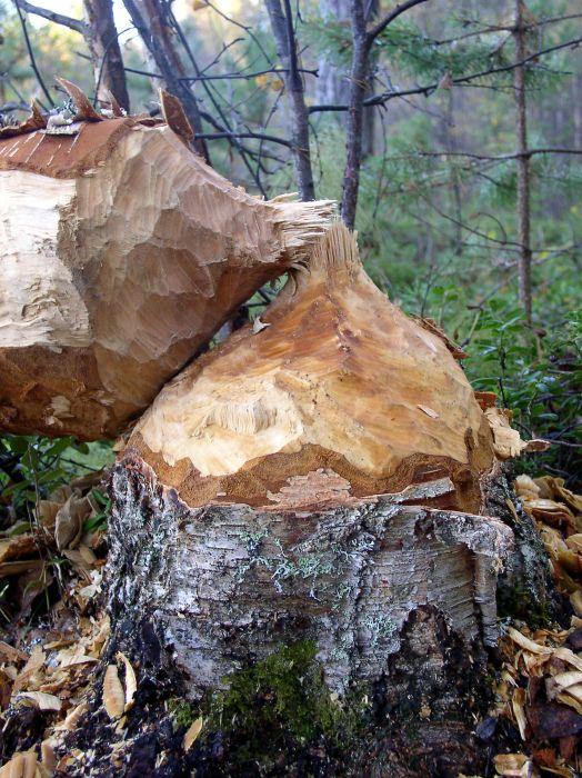 812-beaver-cut-tree