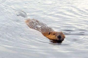 812-beaver-swim-sm