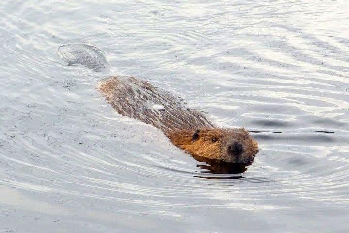 812-beaver-swimming