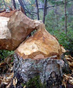 812-beaver-tree-sm