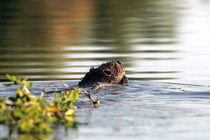 812-beaver-with-branch
